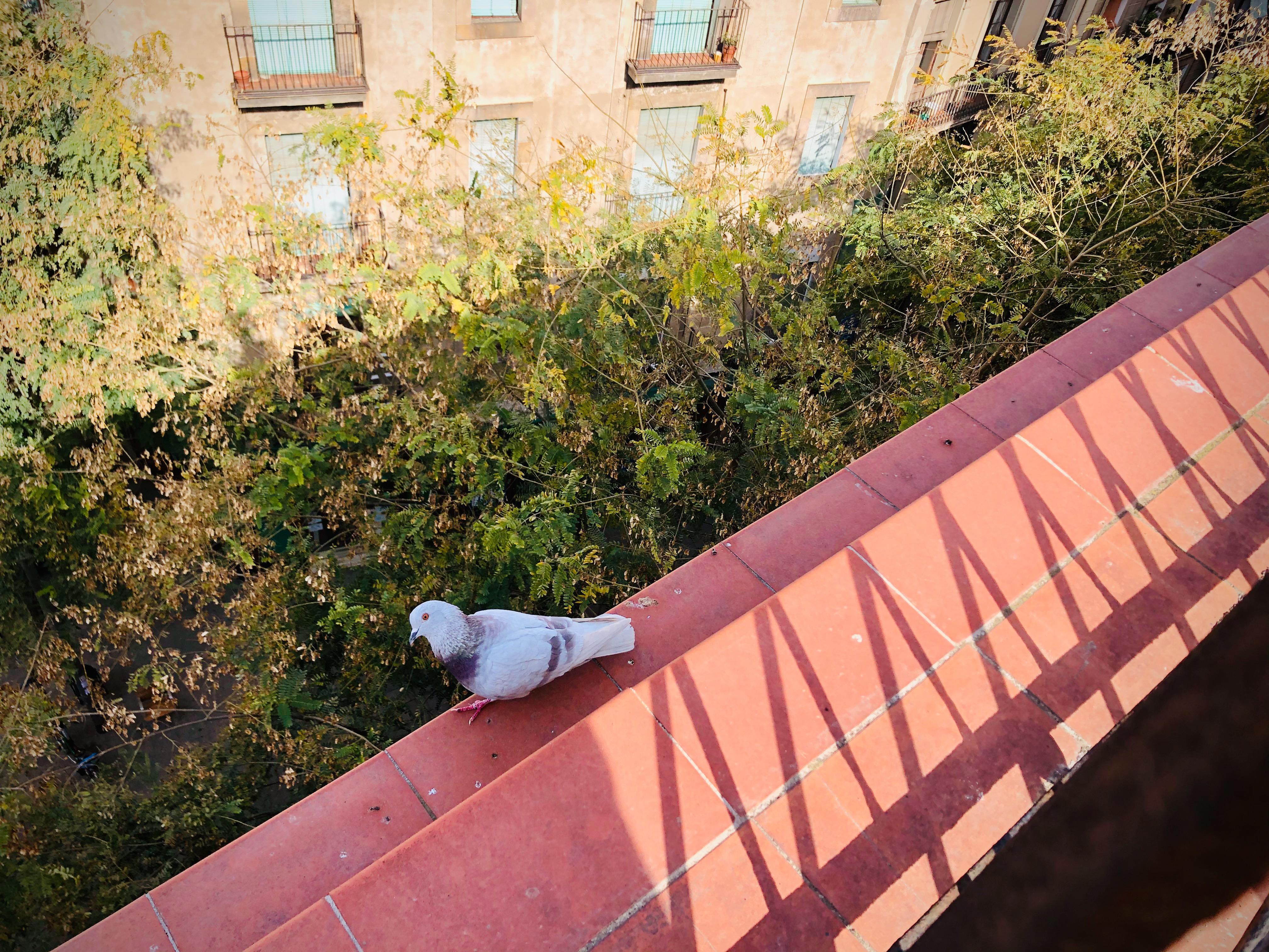 Barcelona - gołąb #zyciewczasiezarazy